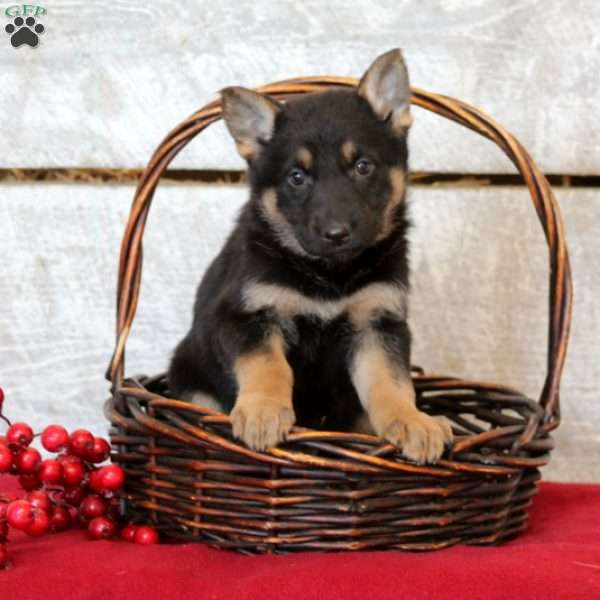 Faye, German Shepherd Puppy