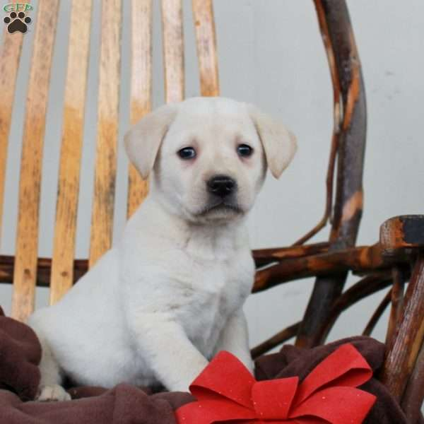 Ferdinand, Yellow Labrador Retriever Puppy