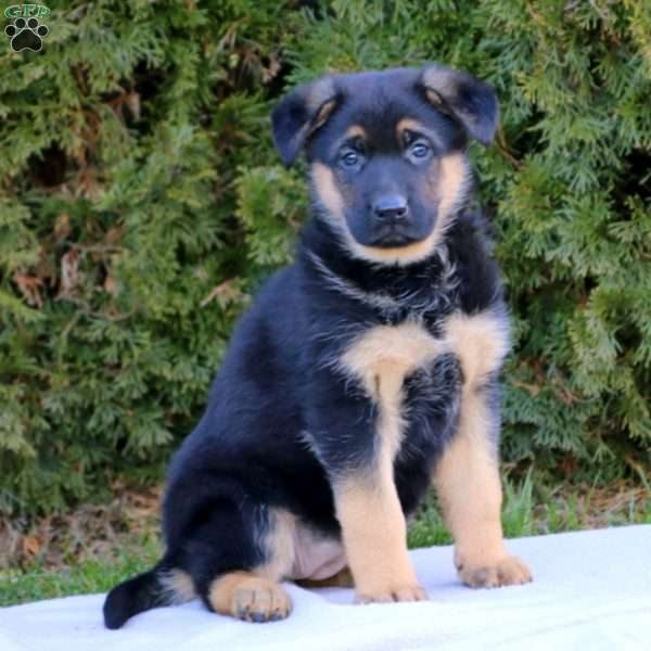 Fern, German Shepherd Puppy