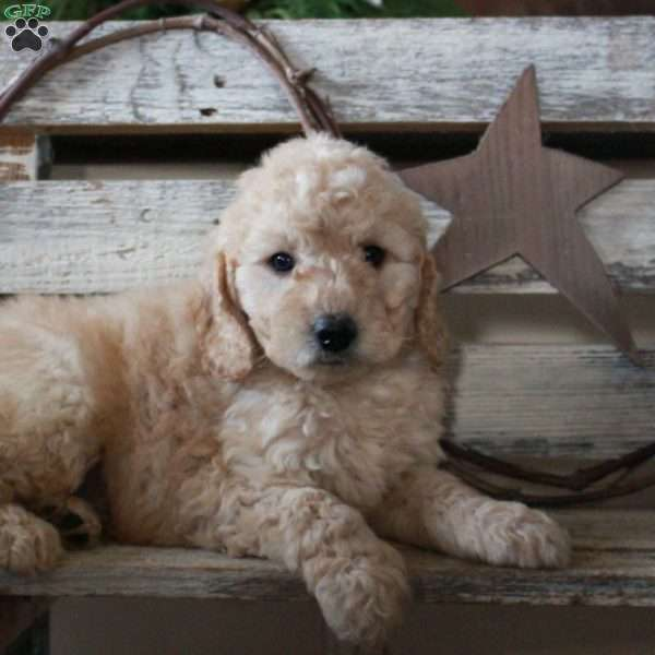 Frankie – F1B, Mini Goldendoodle Puppy