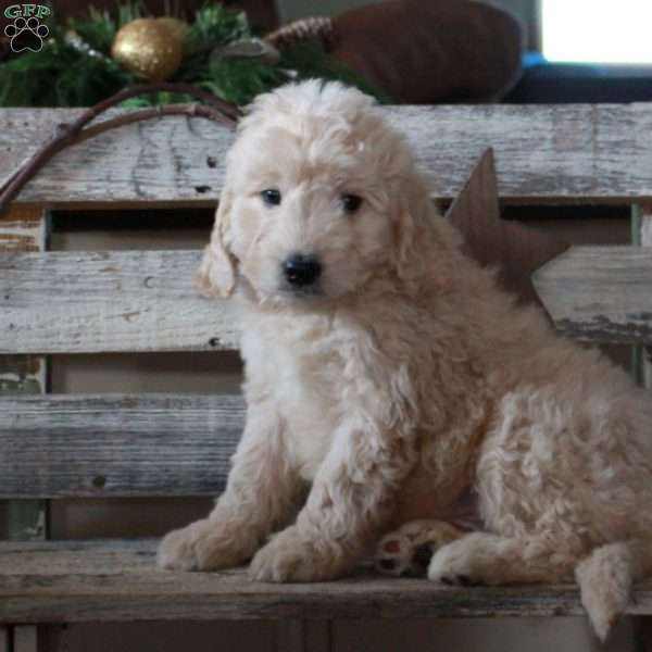 Freddy – F1B, Mini Goldendoodle Puppy