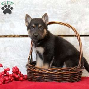 Fritz, German Shepherd Puppy