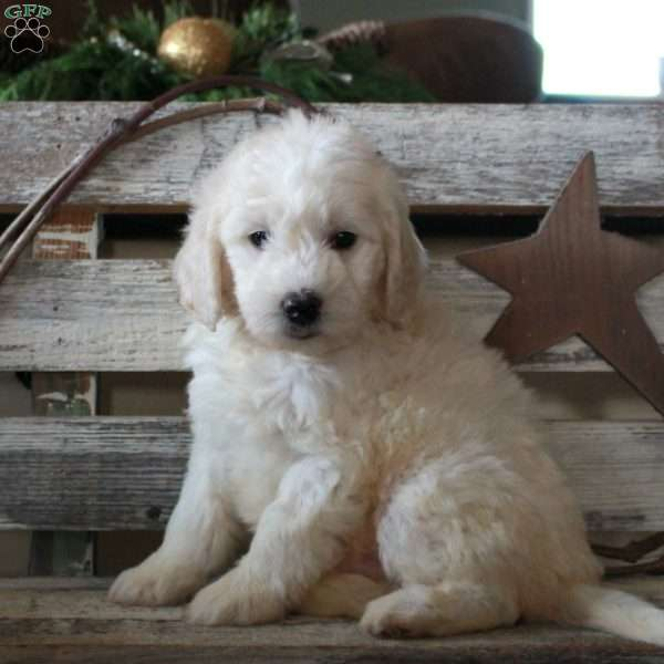 Frosty – F1B, Mini Goldendoodle Puppy