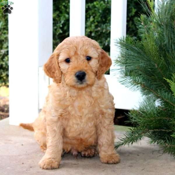 Frozen, Mini Goldendoodle Puppy