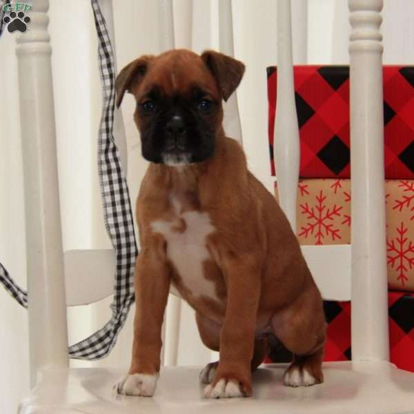 Ginger, Boxer Puppy