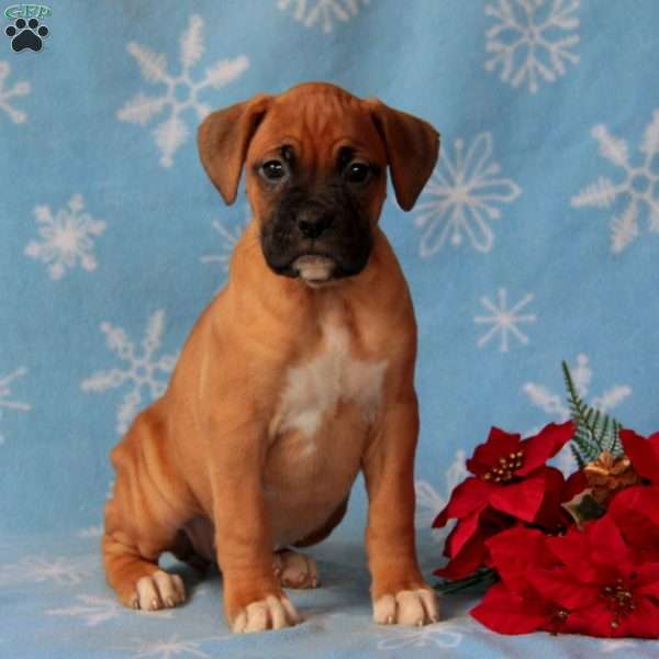 Girlie, Boxer Puppy