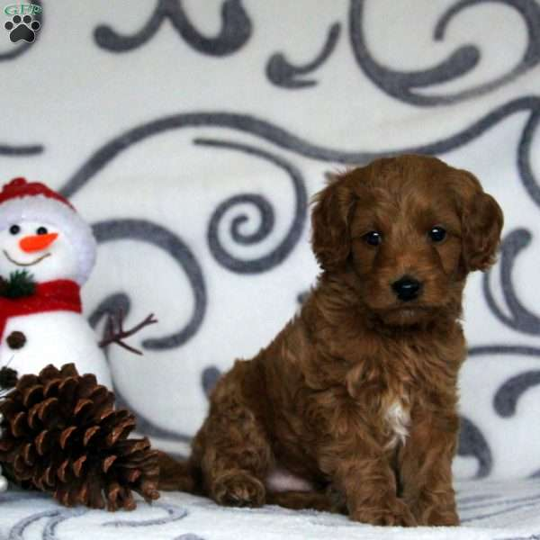Halo, Mini Goldendoodle Puppy