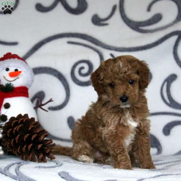 Hank, Mini Goldendoodle Puppy
