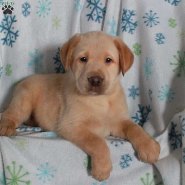 Harley, Yellow Labrador Retriever Puppy