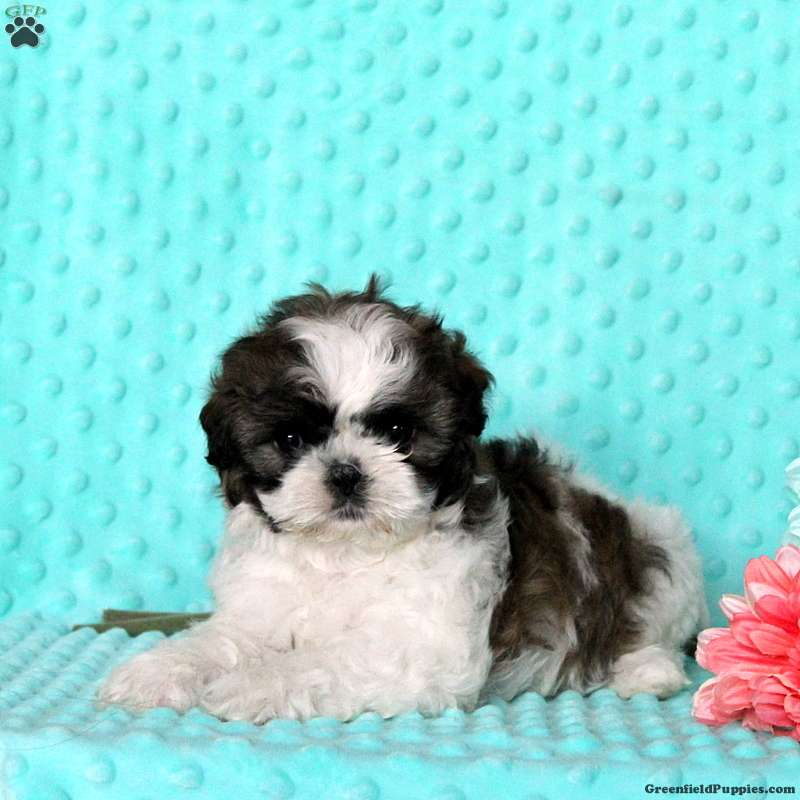 shih tzu puppies in pa harmony shih tzu puppy for sale in pennsylvania 1306