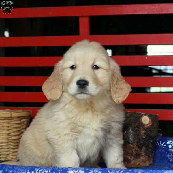 Hayden, Golden Retriever Puppy