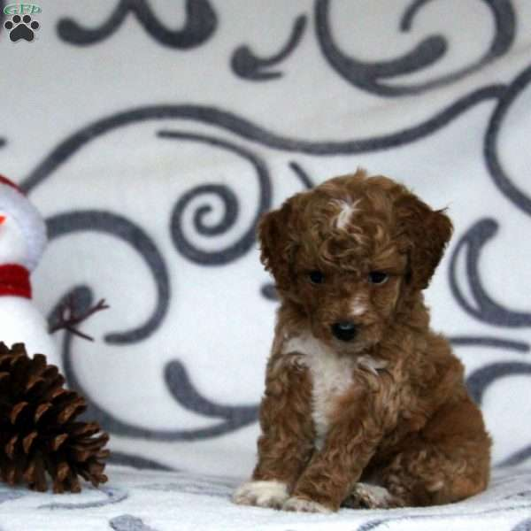 Henry, Mini Goldendoodle Puppy