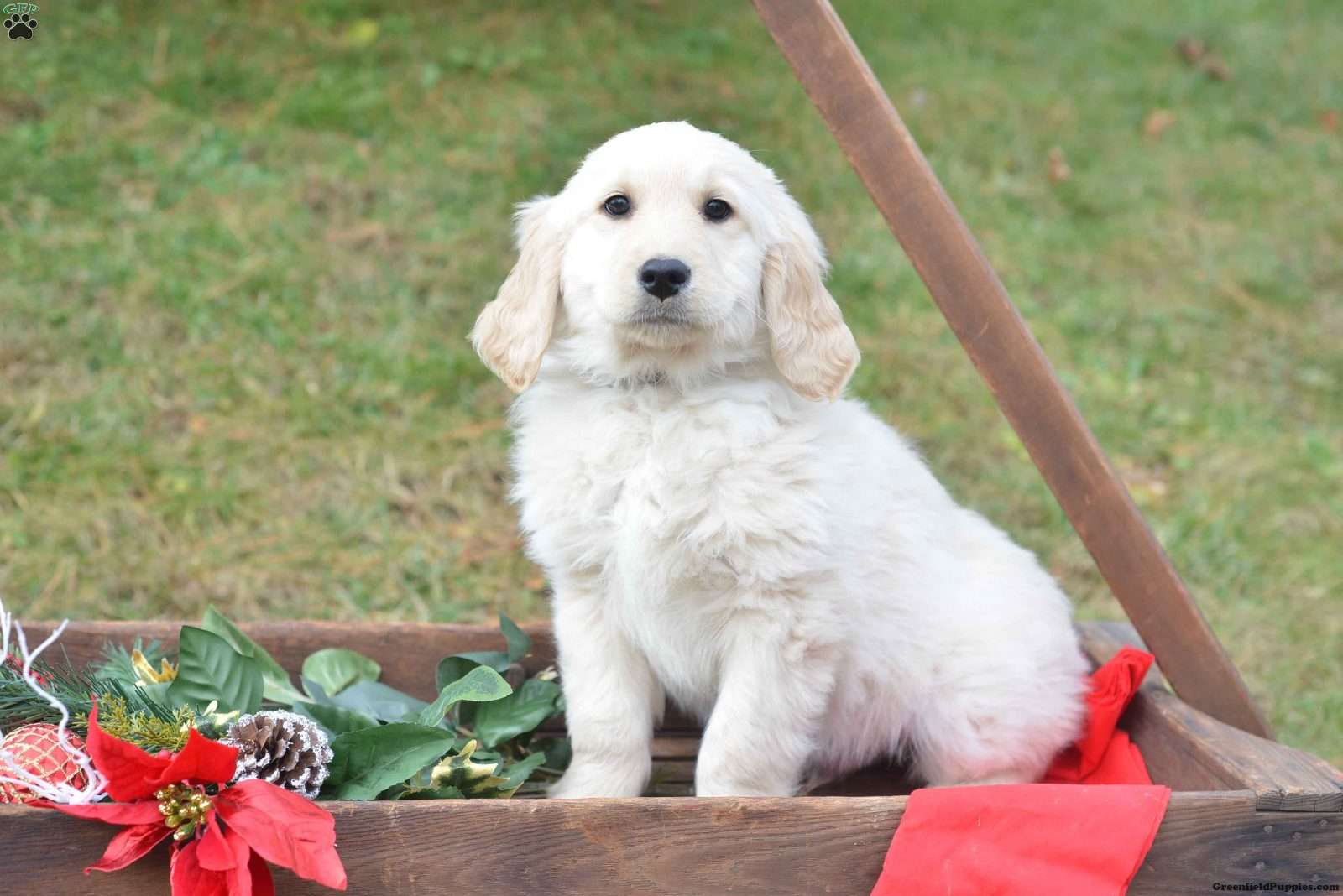 English Cream Golden Retriever Puppies For Sale In Houston Tx Apio