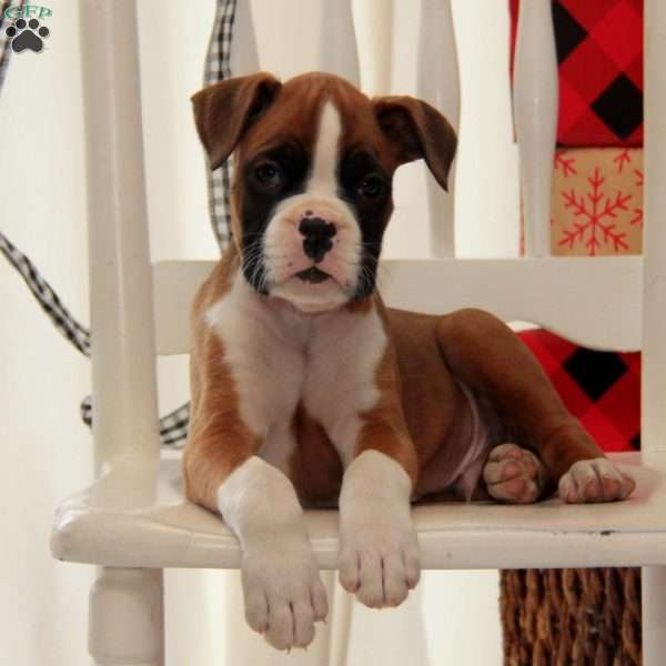 Hunter, Boxer Puppy