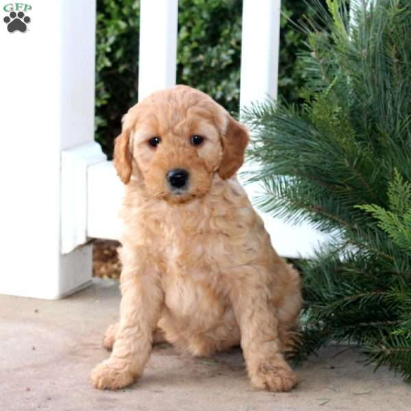 Icicle, Mini Goldendoodle Puppy