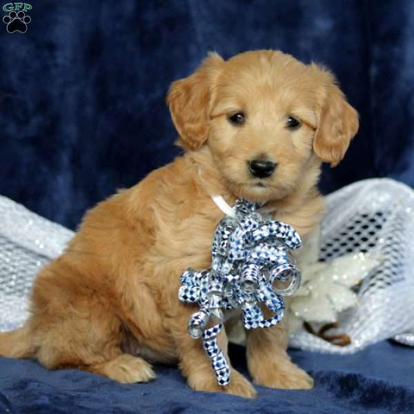 Jade, Mini Goldendoodle Puppy