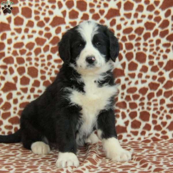 Jake Greater Swiss Mountain Doodle Puppy For Sale In