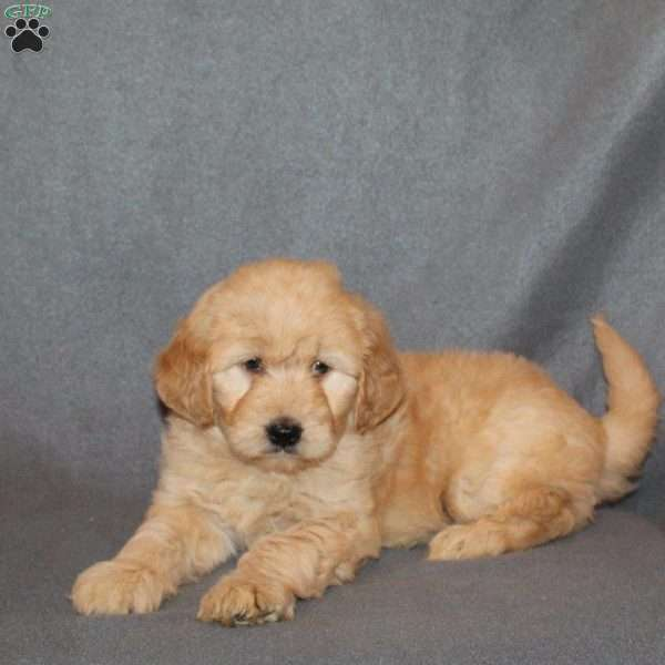 Jalena, Mini Goldendoodle Puppy