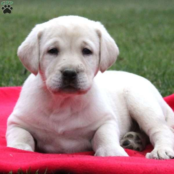 Jared, Yellow Labrador Retriever Puppy