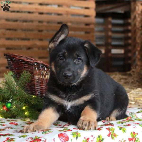 Jasmine, German Shepherd Puppy