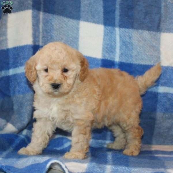 Jay, Mini Goldendoodle Puppy