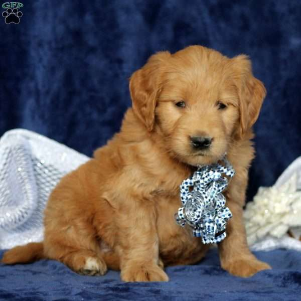 Jiffy, Mini Goldendoodle Puppy