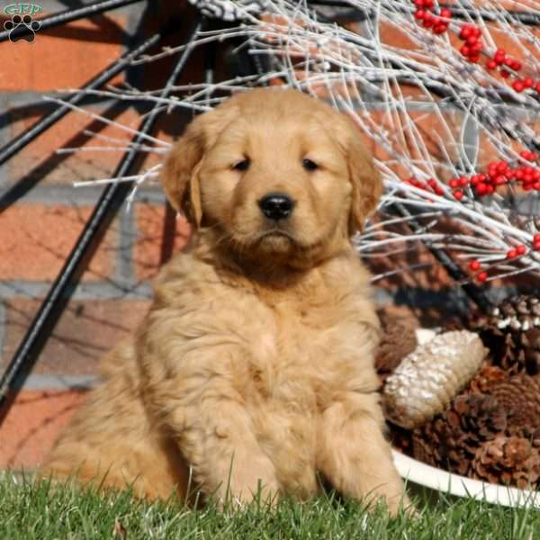Jiffy, Golden Retriever Puppy