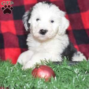 Sheepadoodle Puppies For Sale Sheepadoodle Dog Breed Greenfield