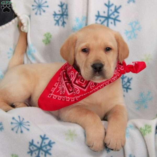 Jupiter, Yellow Labrador Retriever Puppy