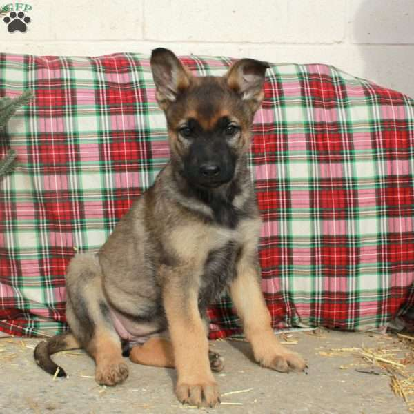 Kadence, German Shepherd Puppy