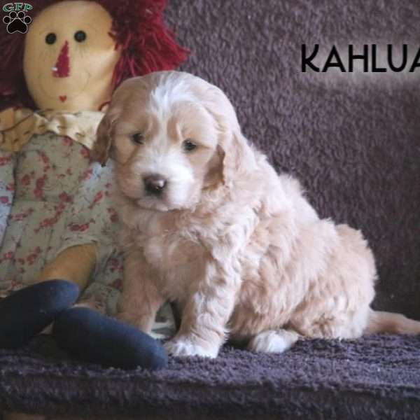 Kahlua, Mini Goldendoodle Puppy