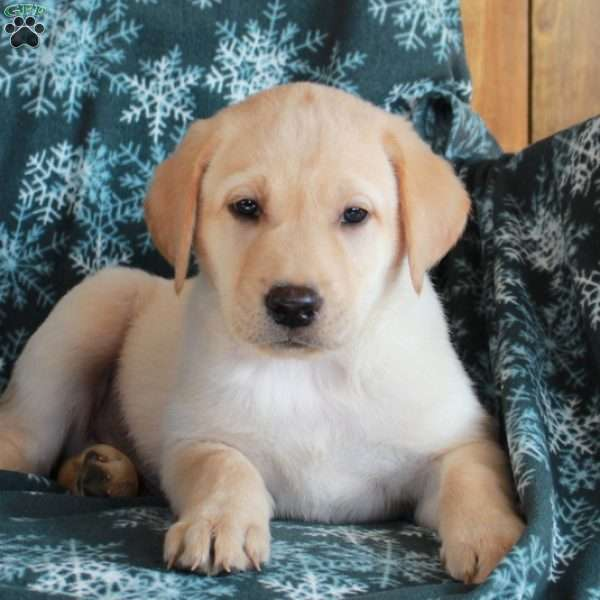 Kaiser, Yellow Labrador Retriever Puppy
