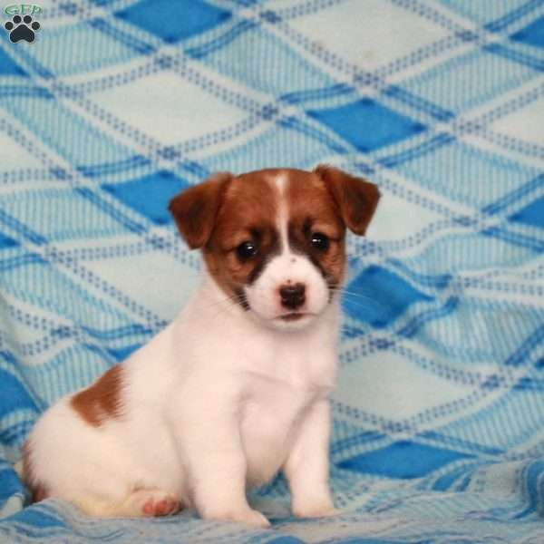Kait, Jack Russell Terrier Puppy