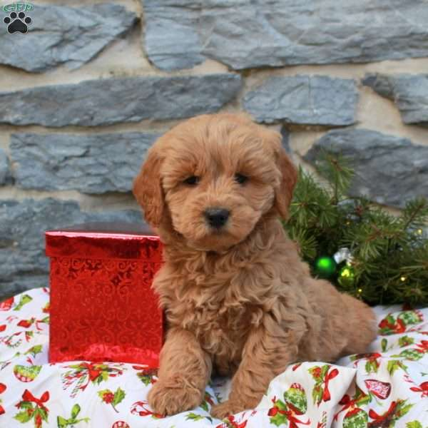Kandy, Mini Goldendoodle Puppy