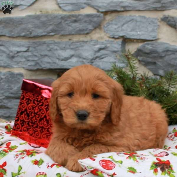 Karl, Mini Goldendoodle Puppy