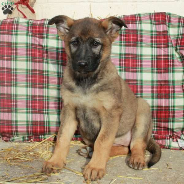 Karrie, German Shepherd Puppy