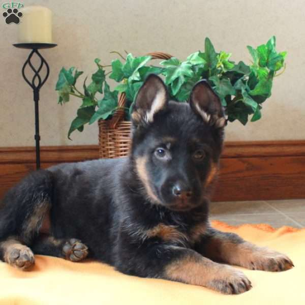 Karter, German Shepherd Puppy