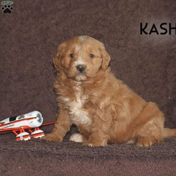 Kash, Mini Goldendoodle Puppy