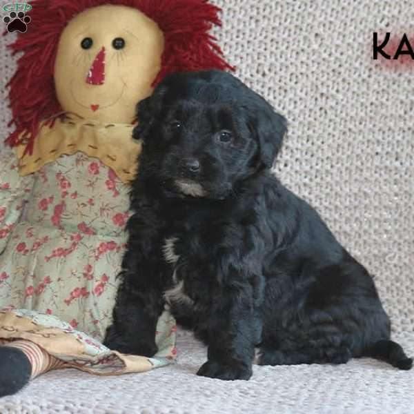 Kate, Mini Goldendoodle Puppy