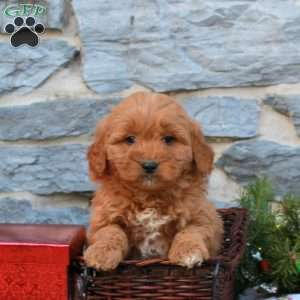Katrina, Mini Goldendoodle Puppy