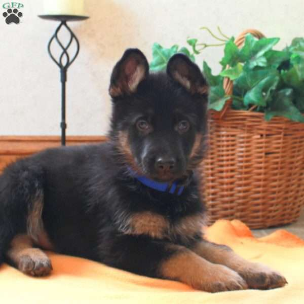 Keegan, German Shepherd Puppy