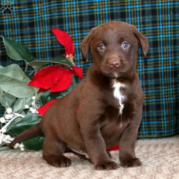 Kendall, Chocolate Labrador Retriever Puppy
