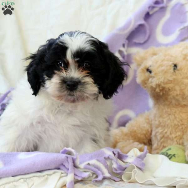 Kevin, Shih-Poo Puppy
