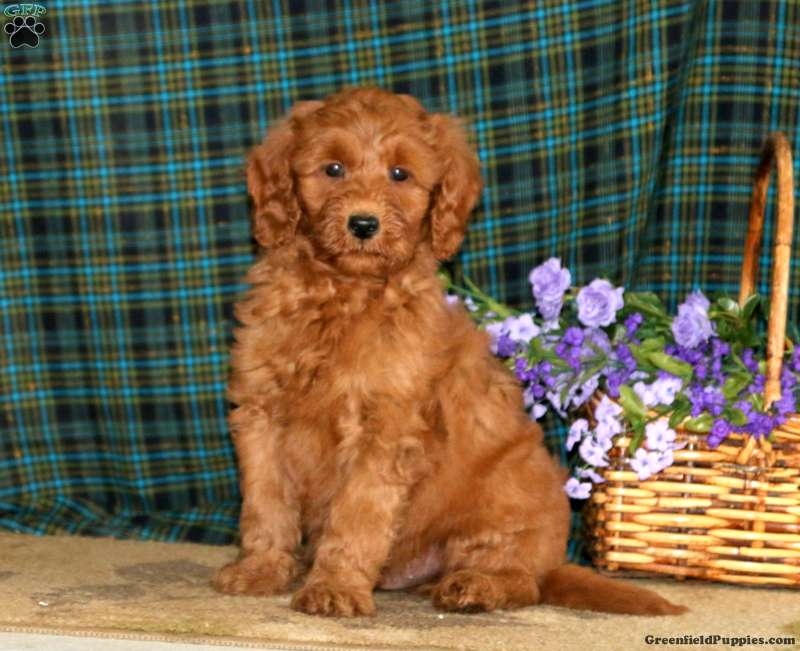Kolby Mini Goldendoodle Puppy For Sale In Pennsylvania