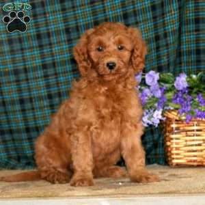 Kolby, Mini Goldendoodle Puppy
