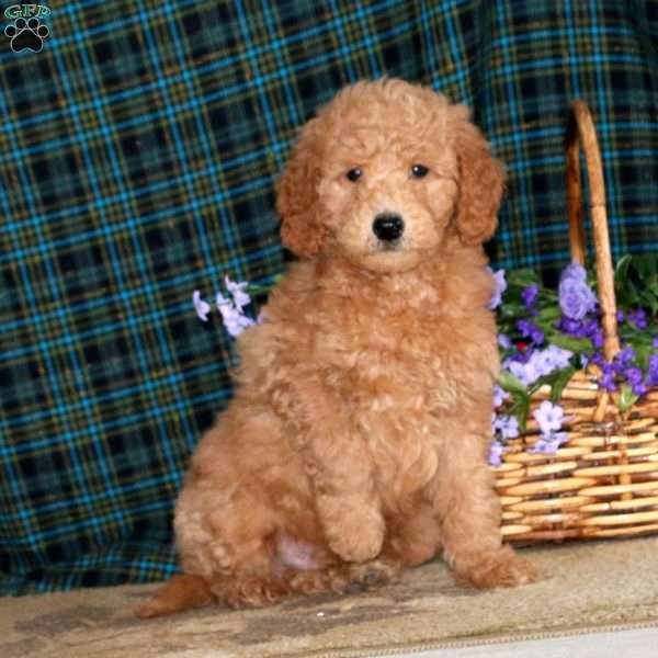 Kyle, Mini Goldendoodle Puppy