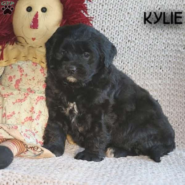 Kylie, Mini Goldendoodle Puppy