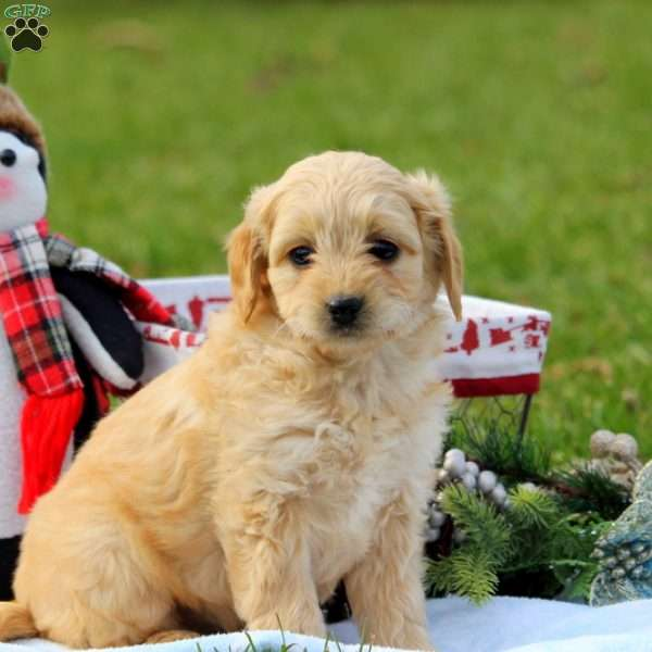 Laddie, Mini Goldendoodle Puppy
