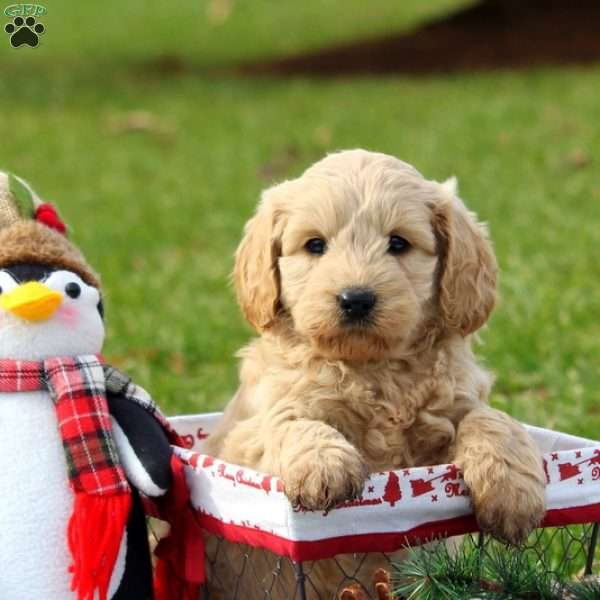 Lady, Mini Goldendoodle Puppy