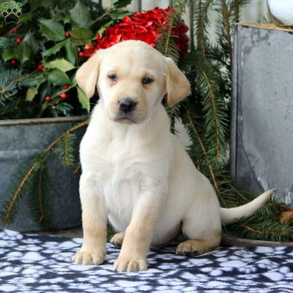 Lance, Yellow Labrador Retriever Puppy